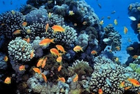 Research Project Aims to Explain Unique Resilience of Gulf Corals