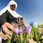 Photos: Saffron Farms in Ghaenat, Iran