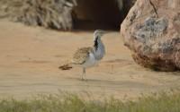 Endangered bird species introduced to Sir Bani Yas Island