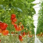 Khalifa hydroponic farm's paying off