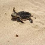 First Hawksbill turtles hatch on Abu Dhabi's Saadiyat beach